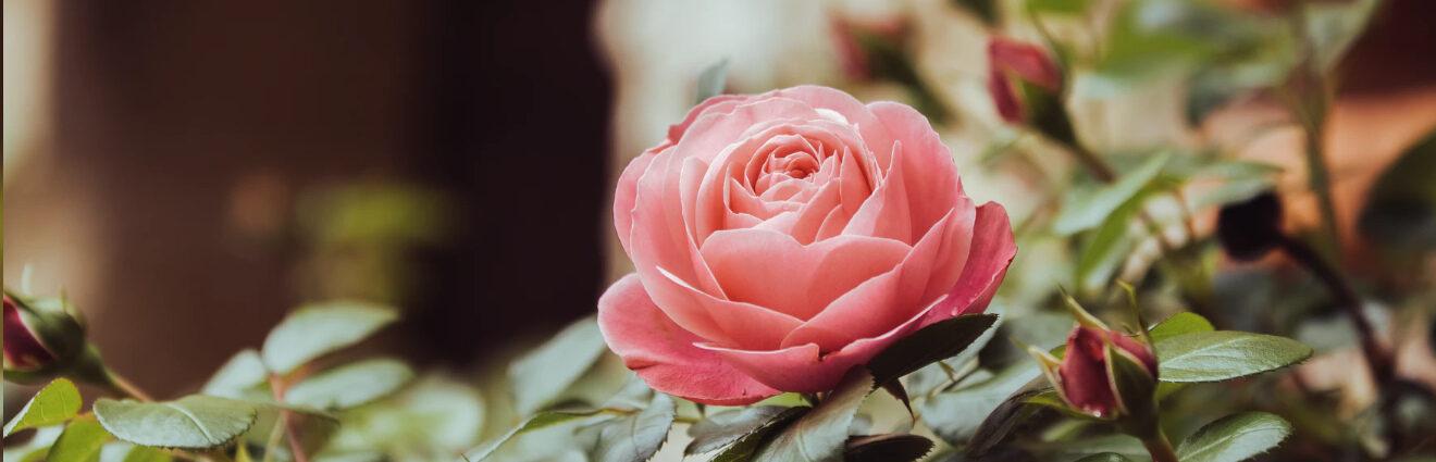 Photographie d'une rose en fleur